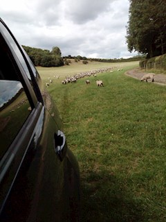 Chased on Big Chill site tour by crazy sheep